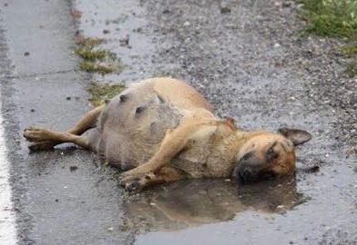 Espancada, grávida e deitada na estrada, cachorrinha lutou para sobreviver e tem um final feliz